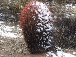 Snow-covered cactus, photo: Faith E. Winn