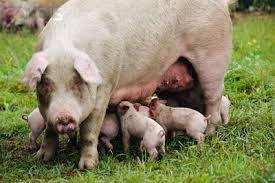 sow and piglets courtesy of sites.duke.edu